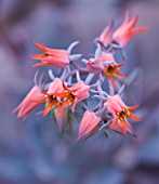 RHS GARDEN  WISLEY   SURREY - FLOWERS OF ECHEVERIA AFTERGLOW . SUCCULENT