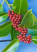 HIGHFIELD HOLLIES  HAMPSHIRE - CLOSE UP OF THE RED BERRIES OF THE HOLLY - ILEX  KOEHNEANA CHESTNUT LEAF