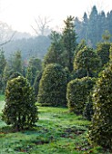 HIGHFIELD HOLLIES  HAMPSHIRE - HOLLIES IN THE NURSERY - MAINLY ILEX SILVER LINING