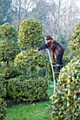HIGHFIELD HOLLIES  HAMPSHIRE - LOUISE BENDALL ON A LADDER PRUNING ILEX LAWSONIANA