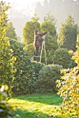 HIGHFIELD HOLLIES  HAMPSHIRE - LOUISE BENDALL ON A LADDER PRUNING ILEX GOLDEN KING