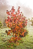 HIGHFIELD HOLLIES  HAMPSHIRE -  RED LEAVES IN FROST OF LIQUIDAMBAR