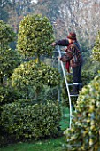 HIGHFIELD HOLLIES  HAMPSHIRE - LOUISE BENDALL DUCK PRUNING ILEX GOLDEN KING ON A STEP LADDER