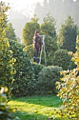 HIGHFIELD HOLLIES  HAMPSHIRE - LOUYISE BENDALL DUCK PRUNING ILEX GOLDEN KING ON A STEP LADDER