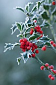 HIGHFIELD HOLLIES  HAMPSHIRE - FROSTED LEAVES AND RED BERRIES OF THE HOLLY - ILEX AQUIFOLIUM ALASKA