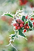 HIGHFIELD HOLLIES  HAMPSHIRE - FROSTED LEAVES AND RED BERRIES OF ILEX AQUIFOLIUM ALASKA