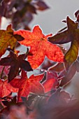 HIGHFIELD HOLLIES  HAMPSHIRE - FROSTED RED LEAVES OF LIQUIDAMBAR