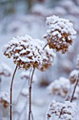 FORMAL TOWN GARDEN IN SNOW  OXFORD  WINTER: DESIGN BY LIZ NICHOLSON - HYDRANGEA ANNABELLE DUSTED WITH SNOW
