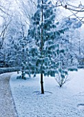 FORMAL TOWN GARDEN IN SNOW  OXFORD  WINTER: DESIGN BY LIZ NICHOLSON - PINUS RADIATA IN THE LAWN