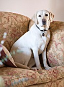 DESIGNER CAROLYN MINTY  GLOUCESTERSHIRE - THE IVING ROOM - BREEDING GUIDE DOG TOPSY