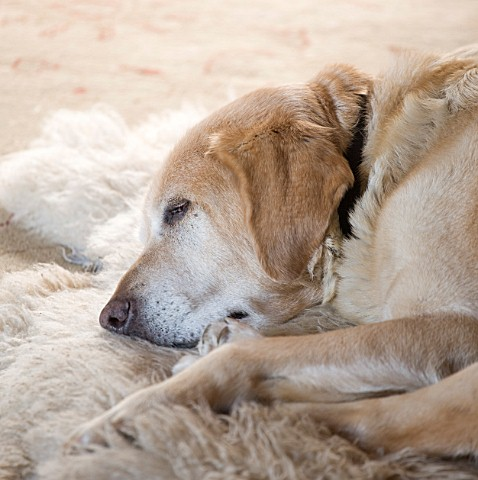 DESIGNER_CAROLYN_MINTY__GLOUCESTERSHIRE___BREEDING_GUIDE_DOG_SULA_RESTING_BY_THE_FIRE_IN_THE_SITTING