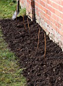DESIGNER: CLARE MATTHEWS: PLANTING A BAREROOT RASPBERRY CANE FRUIT BUSH - PREPARED SOIL BED WITH CANES PLANTED