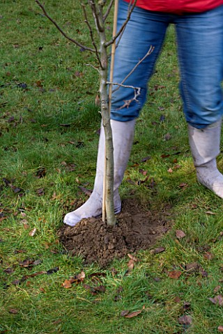 DESIGNER_CLARE_MATTHEWS_PLANTING_A_BAREROOT_FRUIT_TREE_SOIL_BEING_FIRMED_AROUND_THE_ROOT_BALL_TO_ENS