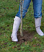 DESIGNER: CLARE MATTHEWS: PLANTING A BAREROOT FRUIT TREE: SOIL BEING FIRMED AROUND THE ROOT BALL TO ENSURE THERE ARE NO AIRPOCKETS