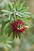 FLOWER OF CALLISTEMON VIMINALIS LITTLE JOHN - DWARF BOTTLEBRUSH. AUSTRALIA