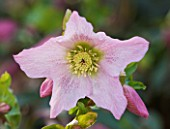 RHS GARDEN WISLEY  SURREY: CLOSE UP OF THE PINK FLOWER OF HELLEBORUS WALBERTONS ROSEMARY