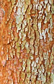 RHS GARDEN WISLEY  SURREY: CLOSE UP OF THE BARK OF LUMA APICULATA - CHILEAN MYRTLE