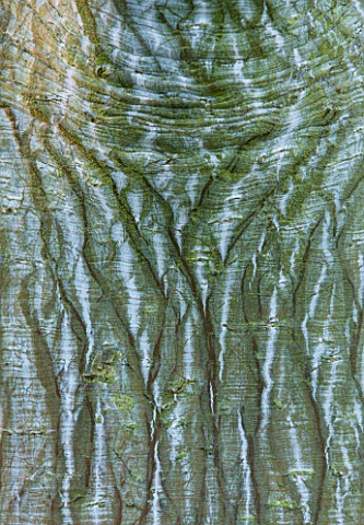 RHS_GARDEN_WISLEY__SURREY_CLOSE_UP_OF_THE_BARK_OF_ACER_WHITE_TIGRESS__WINTER__JANUARY_FROM_USA