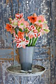 AMARYLLIS IN METAL CONTAINER BY DOOR - STYLING BY JACKY HOBBS - AMARYLLIS HIPPEASTRUM CLOWN  DESIRE AND DARLING
