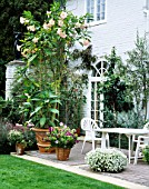 PINK TRUMPETS OF BRUGMANSIA ROSEA TOWER ABOVE TABLE & CHAIRS ON PATIO/TERRACE AT OSLER ROAD  OXFORD