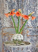 AMARYLLIS HIPPEASTRUM DESIRE IN SILVER CONTAINER ON TABLE BESIDE DOOR - STYLING BY JACKY HOBBS