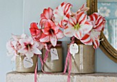 GLAZED JARS WITH AMARYLLIS ON MANTELPIECE WITH BLUE WALL  - AMARYLLIS HIPPEASTRUM TEMPTATION   CHARISMA AND CLOWN - STYLING BY JACKY HOBBS
