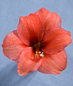 AMARYLLIS HIPPEASTRUM DESIRE - STYLING BY JACKY HOBBS