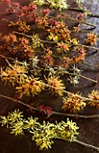 HAMAMELIS ON WOOD - BOTTOM TO TOP: HAMAMELIS ANNE  RUBIN  APHRODITE  COOMBE WOOD  GINGERBREAD  JAPONICA VAR MEGALOPHYLLA  GLOWING EMBERS  FOXY LADY AND ANGELLY