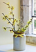 HAMAMELIS ANNE  COOMBE WOOD  JAPONICA VAR MEGALOPHYLLA  ANGELLY IN STONE JAR ON WINDOWSILL
