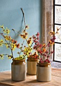 HAMAMELIS ANNE  COOMBE WOOD  JAPONICA VAR MEGALOPHYLLA  ANGELLY  APHRODITE  GINGERBREAD  GLOWING EMBERS  RUBIN  FOXY LADY  MAGIC FIRE  IN STONE JARS ON WINDOWSILL