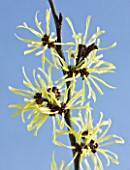 CLOSE UP OF THE YELLOW FLOWERS OF HAMAMELIS ANGELLY