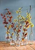 HAMAMELIS ANNE  COOMBE WOOD  JAPONICA VAR MEGALOPHYLLA  APHRODITE  GINGERBREAD  GLOWING EMBERS  RUBIN  FOXY LADY  IN GLASS BOTTLES ON WINDOWSILL