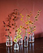 HAMAMELIS ANNE  COOMBE WOOD  JAPONICA VAR MEGALOPHYLLA  APHRODITE  GINGERBREAD  GLOWING EMBERS  RUBIN  FOXY LADY  IN GLASS BOTTLES ON WOODEN TABLE