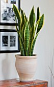 DESIGNER CLARE MATTHEWS - HOUSEPLANT PROJECT - TERRACOTTA CONTAINER ON SIDEBOARD PLANTED WITH MOTHER-IN-LAWS TONGUE - SANSEVERIA TRIFOLIATE