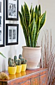 DESIGNER CLARE MATTHEWS - HOUSEPLANT PROJECT - TERRACOTTA CONTAINER ON SIDEBOARD PLANTED WITH MOTHER-IN-LAWS TONGUE - SANSEVERIA TRIFOLIATE. THREE YELLOW CONTAINERS WITH CACTI