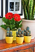 DESIGNER CLARE MATTHEWS - HOUSEPLANT PROJECT - TERRACOTTA CONTAINER ON SIDEBOARD PLANTED WITH MOTHER-IN-LAWS TONGUE - YELLOW CONTAINERS WITH CACTI AND RED GERBERA