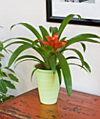 DESIGNER CLARE MATTHEWS - HOUSEPLANT PROJECT - PALE GREEN CONTAINER PLANTED WITH GUZMANIA - BROMELIAD