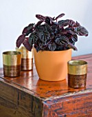 DESIGNER CLARE MATTHEWS - HOUSEPLANT PROJECT - DARK LEAVES OF A PEPEROMIA IN AN ORANGE CONTAINER