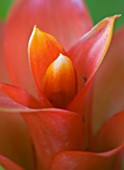DESIGNER CLARE MATTHEWS - HOUSEPLANT PROJECT - CLOSE UP OF THE FLOWER STRUCTURES OF A GUZMANIA - BROMELIAD