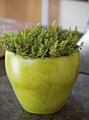 DESIGNER CLARE MATTHEWS - HOUSEPLANT PROJECT - GREEN CONTAINER PLANTED WITH A VARIEGATED THYME  IN KITCHEN. SCENT  HERB