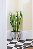 DESIGNER CLARE MATTHEWS - HOUSEPLANT PROJECT - CHAMPAGNE BUCKET CONTAINER PLANTED WITH MOTHER-IN-LAWS TONGUE - SNAKE PLANT - IN HALLWAY. TOXIC