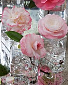 CAMELLIAS IN GLASS VASES - CAMELLIA TAMMIA  WATER LILY  MARGARET DAVIS AND DESIRE  - STYLING BY JACKY HOBBS