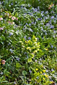 RHS GARDEN  WISLEY  SURREY - SHADE PLANTING WITH HELLEBORES AND SCILLA BYTHYNICA