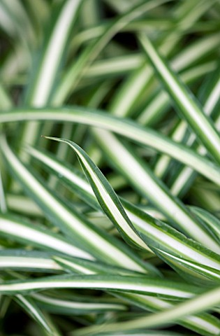 HOUSEPLANT_PROJECT__LEAVES_OF_THE_SPIDER_PLANT__CHLOROPHYTUM_COMOSUM__RIBBON_PLANT__AIRPLANE_PLANT