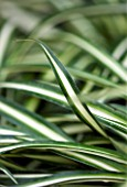 HOUSEPLANT PROJECT - LEAVES OF THE SPIDER PLANT - CHLOROPHYTUM COMOSUM - RIBBON PLANT  AIRPLANE PLANT