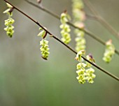 RHS GARDEN   WISLEY  SURREY: FLOWER OF CORYLOPSIS GLABESCENS - THE FRAGRANT WINTER HAZEL