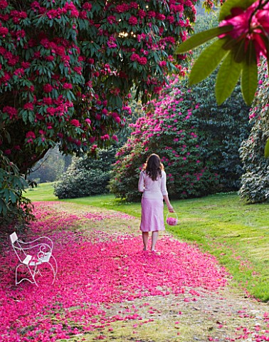 TREGOTHNAN__CORNWALL_WHITE_BENCH_BENEATH_RHODODENDRON_RUSSELLIANUM__GIRL_WALKING_WITH_TRUG