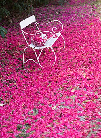 TREGOTHNAN__CORNWALL_WHITE_BENCH_AND_TRUG_SURROUNDED_BY_THE_FALLEN_FLOWERS_OF_RHODODENDRON_RUSSELLIA