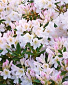 TREGOTHNAN  CORNWALL: RHODODENDRON SILVER SIXPENCE