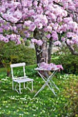 TREGOTHNAN  CORNWALL: WHITE TABLE AND CHAIR BELOW PRUNUS KANZAN - STYLING BY JACKY HOBBS